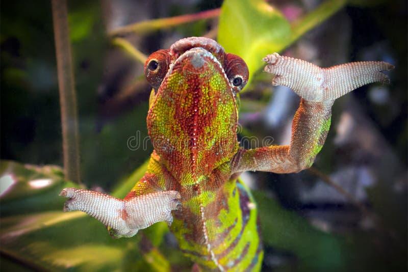Grappig gestreept en bevlekt kameleon van rode en groene kleuring met wijd open poten stock fotografie