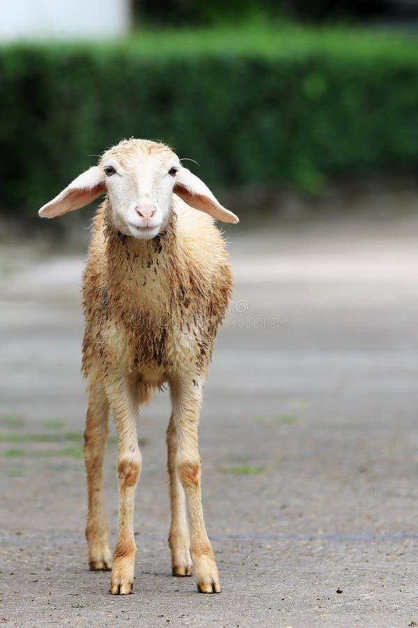 Grappig het portrethoofd van het schapenlam stock fotografie