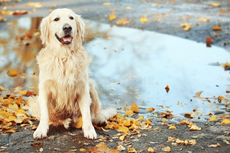 Grappig labrador retriever in de herfstpark stock foto