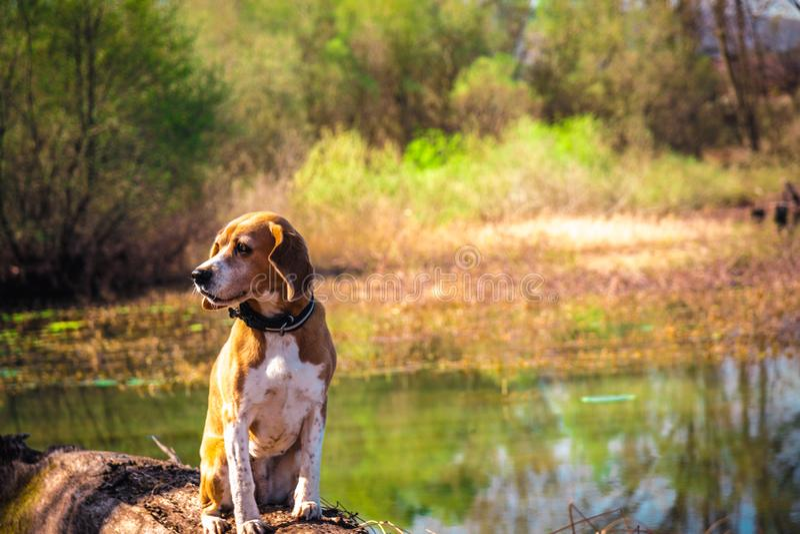 Grappig portret van de zuivere hond van de rassenbrak gezet bij boomstamoever van het meer De afluisteraar die of hoort concept l royalty-vrije stock foto's