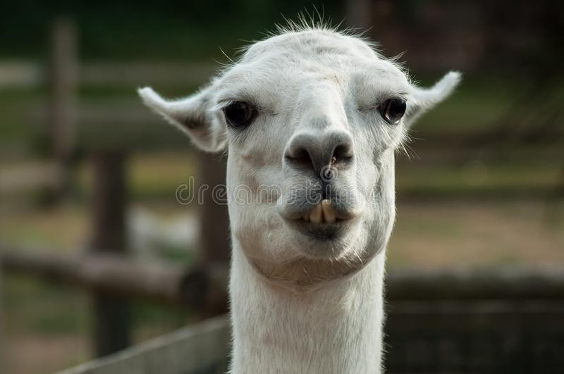 grappig portret van lama in een landbouwbedrijf stock foto's