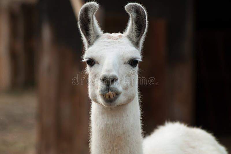 grappig portret van lama in een landbouwbedrijf stock foto