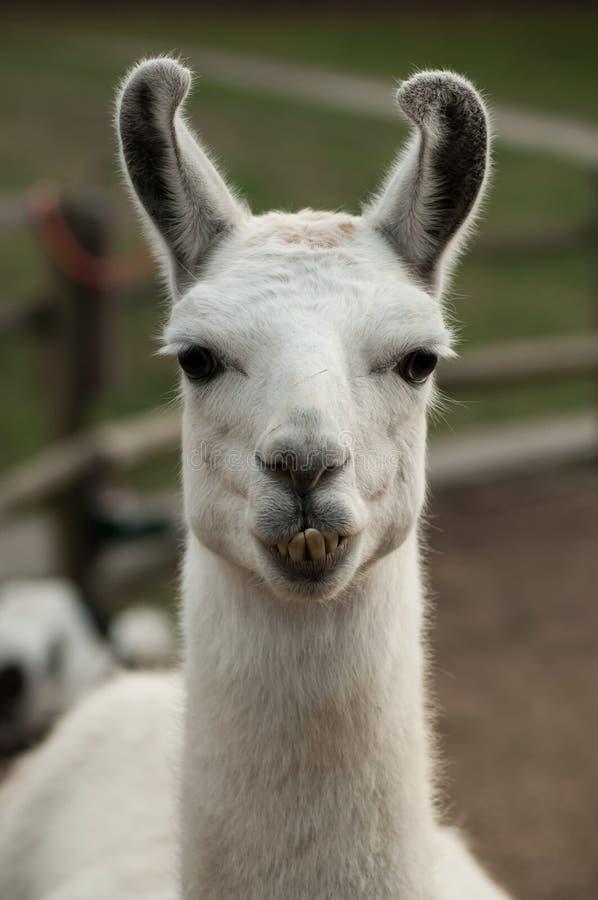 grappig portret van lama in een landbouwbedrijf royalty-vrije stock fotografie