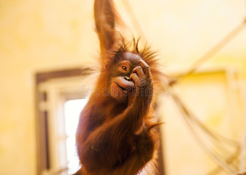 Grappig weinig orangoetan stock foto's