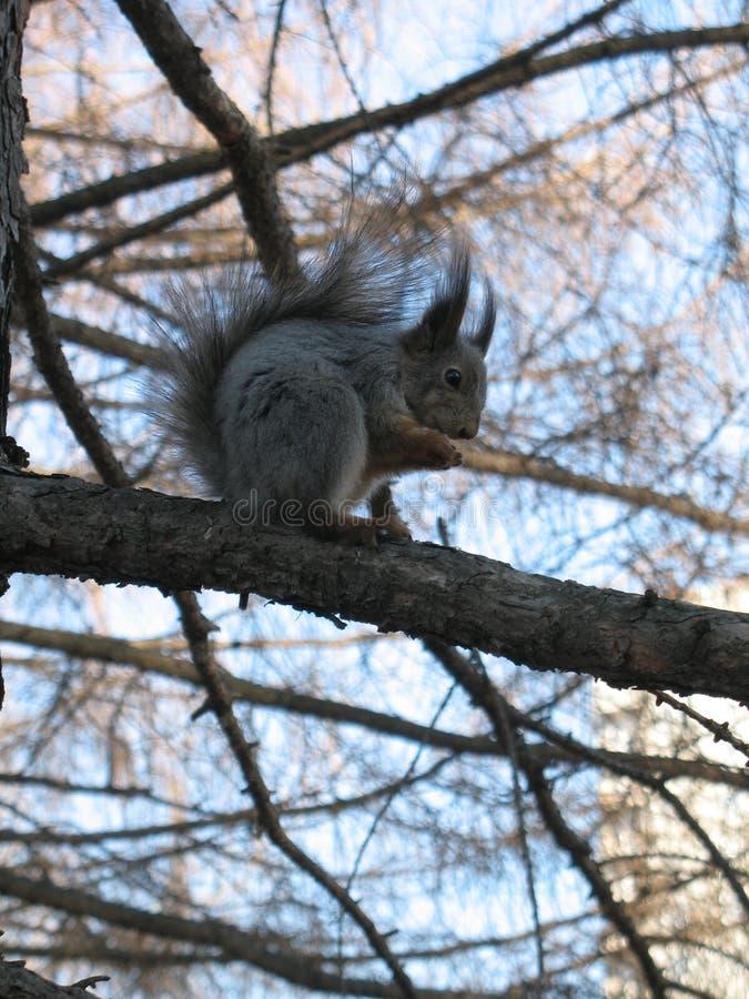 Grappig weinig pluizige eekhoorn die een noot op een boomtak eten stock foto
