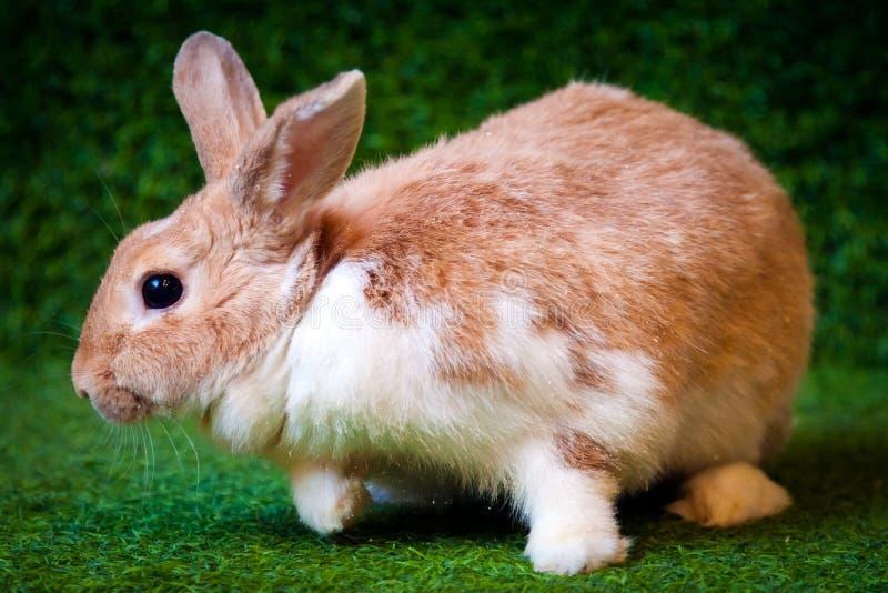 Grappig wit-beige konijn royalty-vrije stock afbeeldingen
