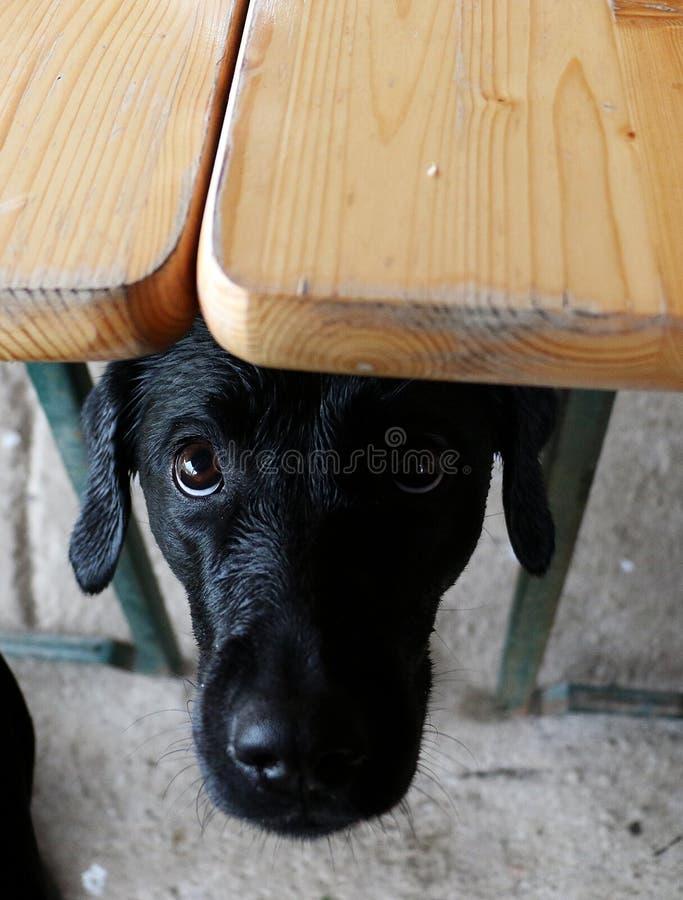 Grappig zwart Labrador in het kader van de lijst royalty-vrije stock afbeelding