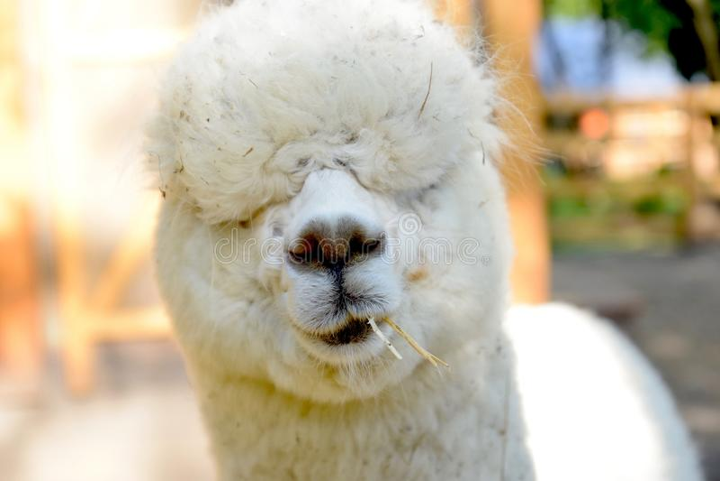 Grappige alpaca royalty-vrije stock foto's