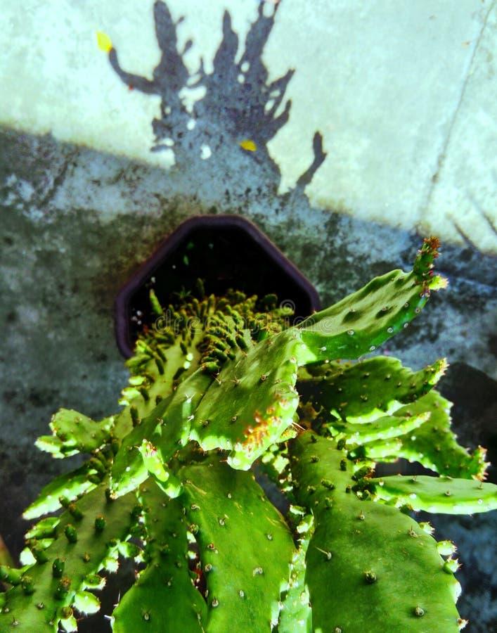 Grappige cactusschaduw stock afbeeldingen