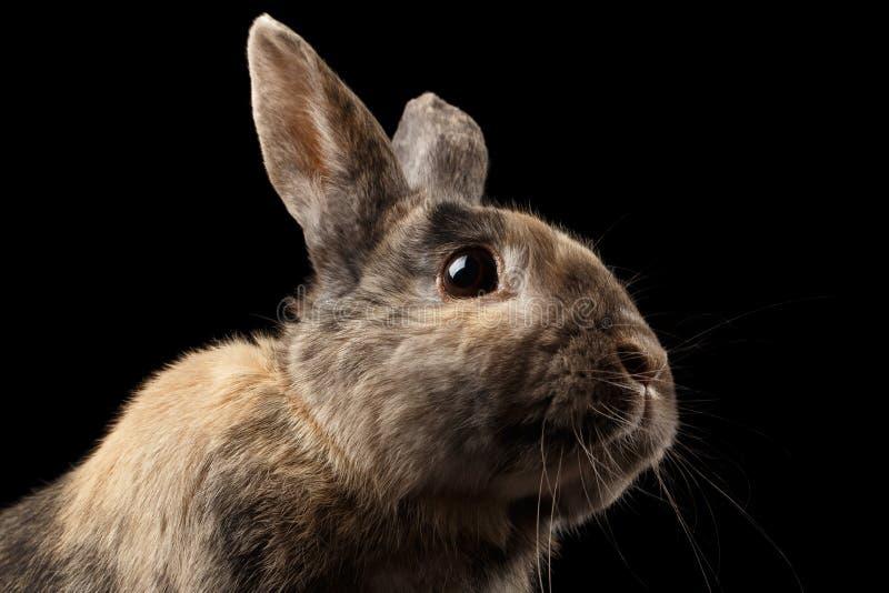Grappige close-up Weinig konijn, Bruin die Bont, op Zwarte Achtergrond wordt geïsoleerd royalty-vrije stock afbeelding