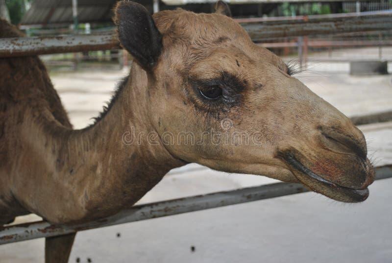 Grappige de kameel van de kameelglimlach royalty-vrije stock foto's