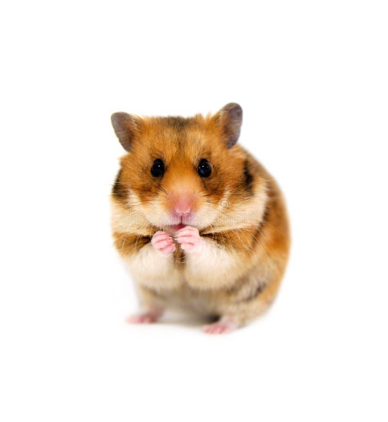 Grappige die hamster op witte achtergrond wordt geïsoleerd royalty-vrije stock foto's