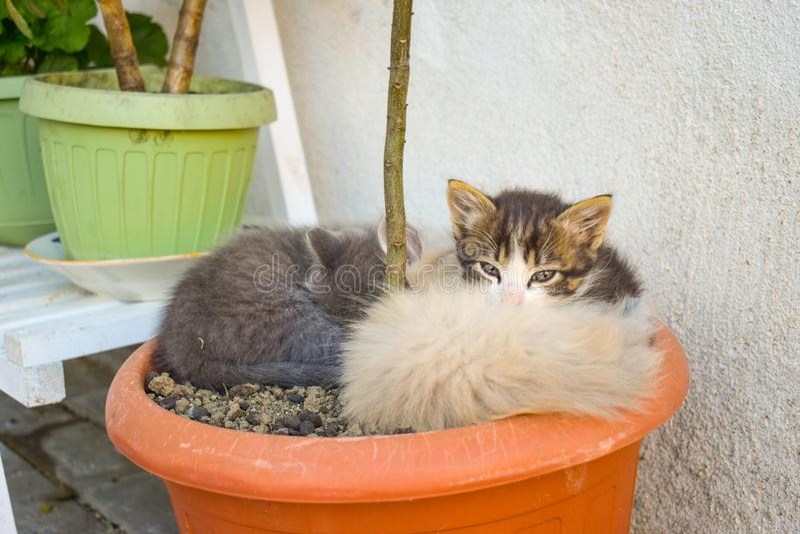 Grappige drie katjesbroers die in de vaas van de installatie slapen openlucht stock foto's