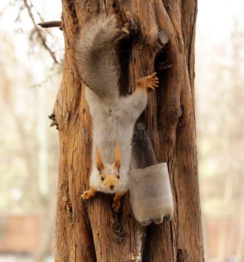 Grappige eekhoorn op de boom stock foto