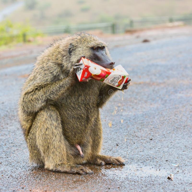 Grappige Foto van Olijf, of Savanne, Baviaan die Juice Carton bijten stock afbeelding