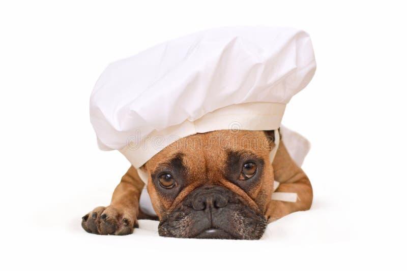 Grappige Franse Buldoghond die op grond omhoog gekleed als kok liggen die de hoed van een chef-kok dragen die op witte achtergron stock afbeelding