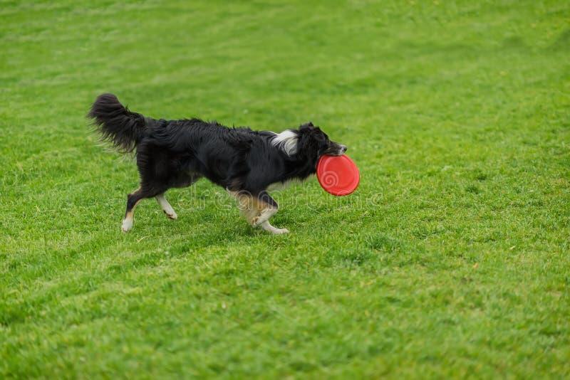 Grappige frisbeevangst met de eigenaar Hond die rode plastic schijf dragen die in het gras bij de zomerpark lopen Geluk binnen royalty-vrije stock fotografie