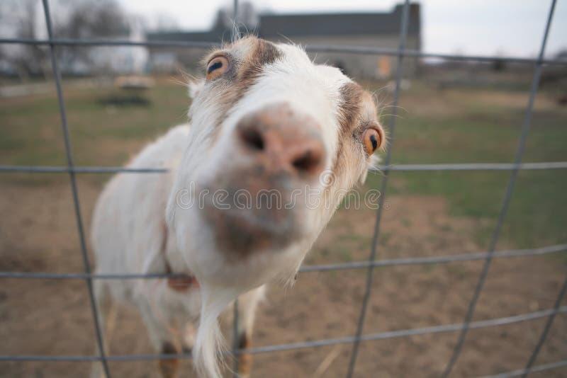 Grappige geit stock foto