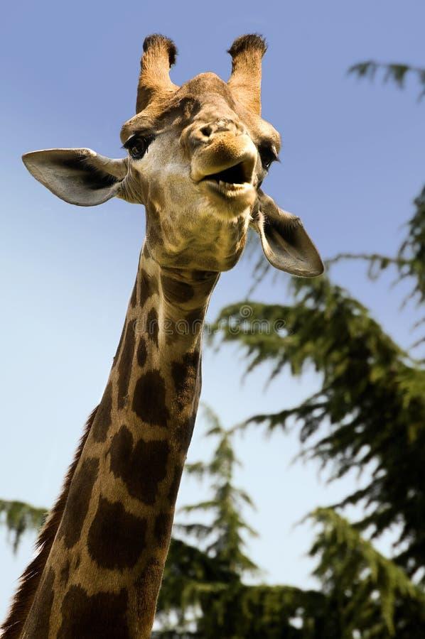 Grappige giraf stock afbeelding