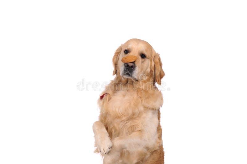 Grappige gouden labrador retriever-hond die op de cake kijken royalty-vrije stock foto's