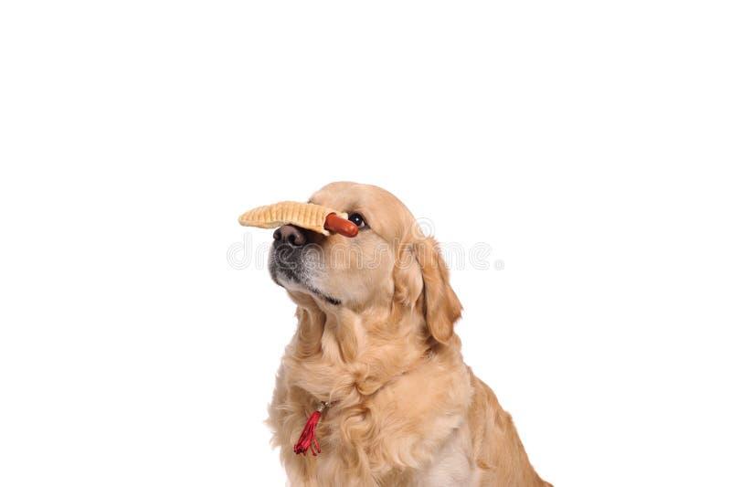 Grappige gouden labrador retriever-hond die op de hotdog kijken stock fotografie