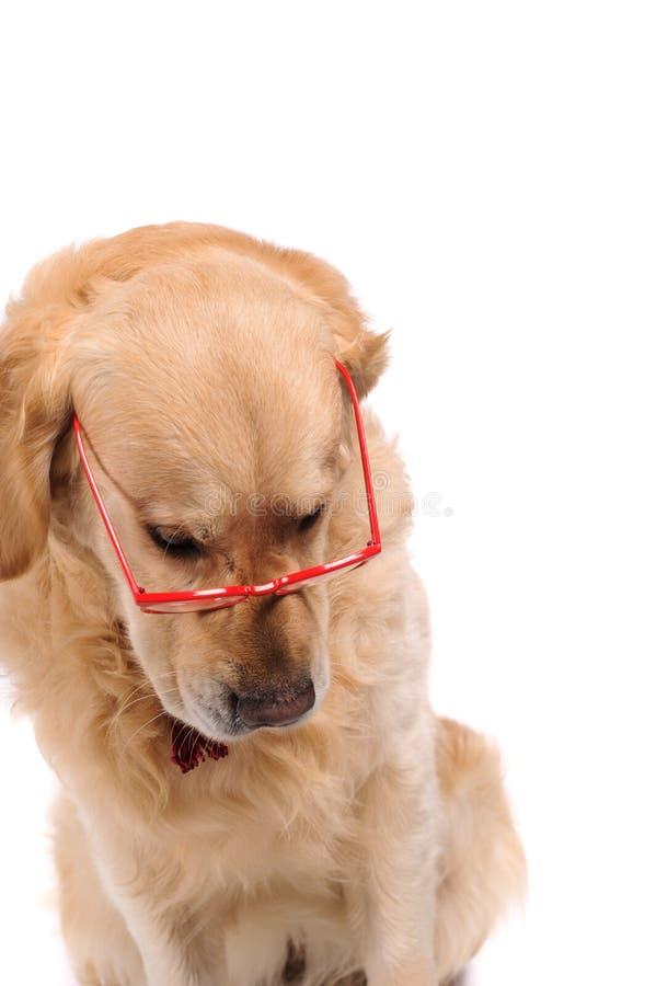 Grappige gouden labrador retriever-hond die in rode glazen kijken royalty-vrije stock foto