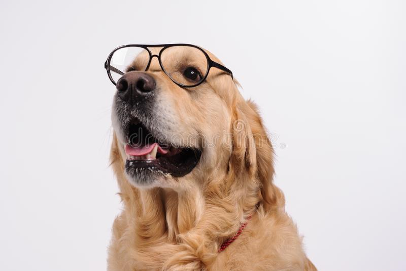 Grappige gouden labrador retriever-hond die in zwarte glazen kijken stock fotografie