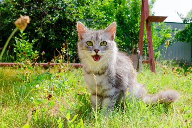Grappige grijze kattenschreeuwen en glimlach Oudoor royalty-vrije stock afbeelding