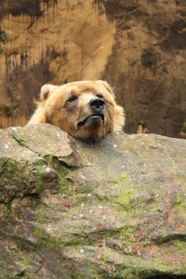Grappige grizzly die zijn hoofd rust royalty-vrije stock foto's