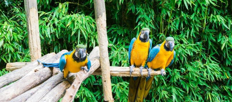 Grappige groep die blauwe en gele kleurrijke arapapegaaien op een houten tak en een één zitten die dicht komen royalty-vrije stock afbeeldingen