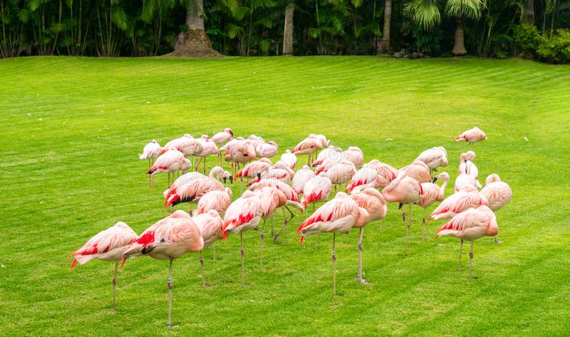 grappige groep flamingo's onder gras en palmen stock afbeelding
