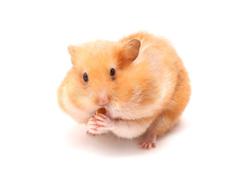 Grappige hamster royalty-vrije stock afbeeldingen