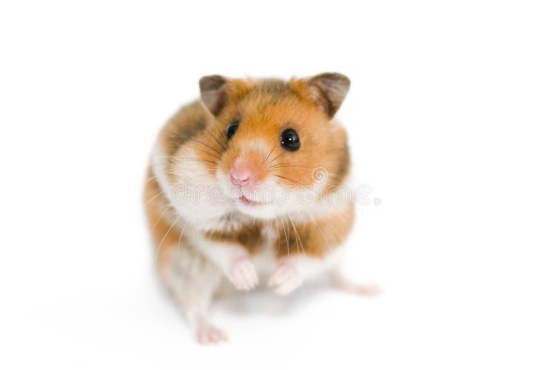 Grappige hamster stock fotografie