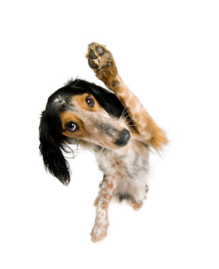 Grappige hond die bij u golft royalty-vrije stock fotografie