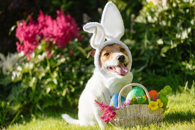 Grappige hond die Pasen-konijntjeskostuum en feestelijke mand met multicolored eieren dragen
