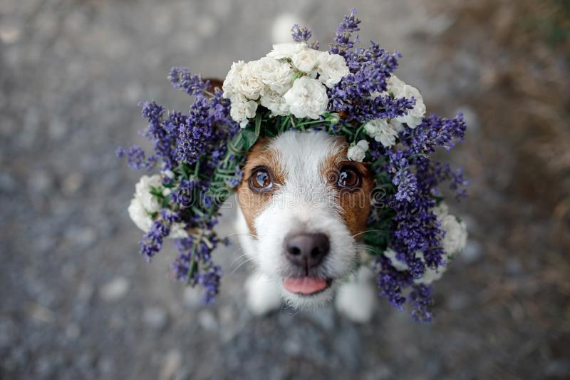 Grappige hond in een bloemkroon Gelukkig huisdier Leuke Hefboom Russell Terrier stock foto