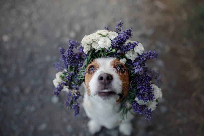 Grappige hond in een bloemkroon Gelukkig huisdier Leuke Hefboom Russell Terrier royalty-vrije stock fotografie