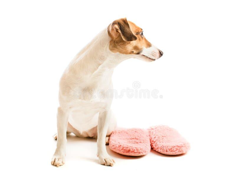 Grappige hond en pantoffels stock afbeeldingen