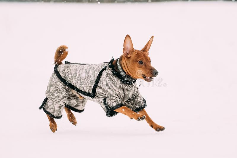 Grappige Hond Roodbruine Miniatuurpinscher Pincher Min Pin Playing stock foto's