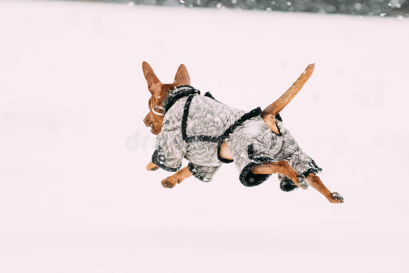 Grappige Hond Roodbruine Miniatuurpinscher Pincher Min Pin Playing A royalty-vrije stock foto's
