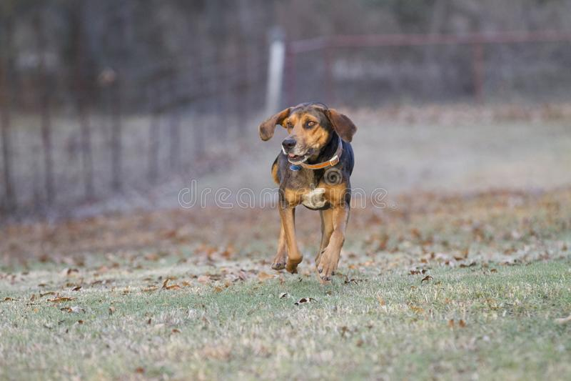 Grappige hondenhond die met oren het flopping lopen royalty-vrije stock foto