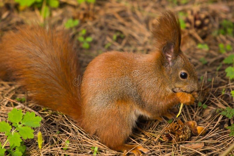 Grappige huisdieren van het eekhoorn springen de rode bont bos op achtergrond wild thematisch op aarddier stock fotografie