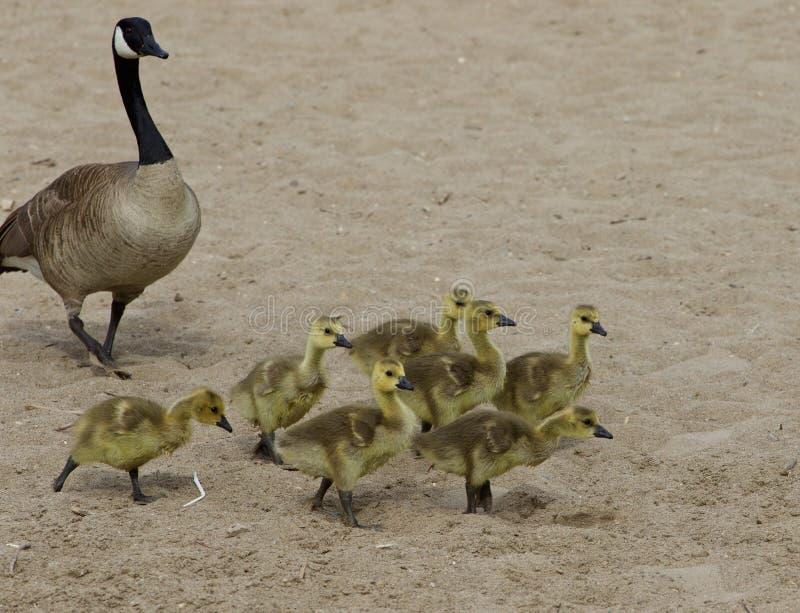 Grappige jonge ganzen op het strand royalty-vrije stock afbeelding