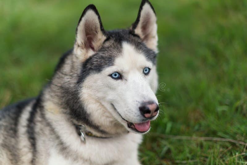 Grappige jonge schor hond stock fotografie