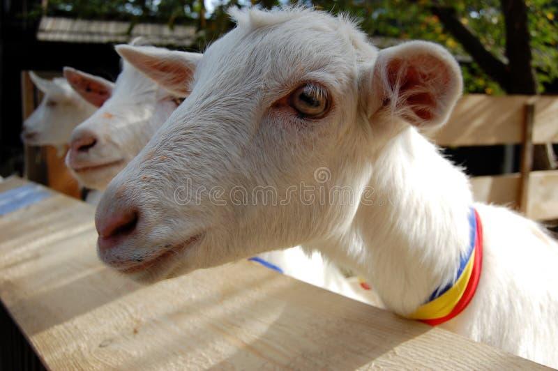Grappige jonge witte geiten royalty-vrije stock foto's