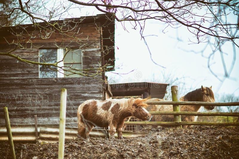 Grappige kleine poney, Paard royalty-vrije stock foto's