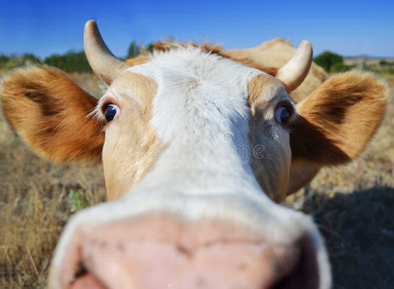 Grappige koe dichte omhooggaand in landbouwbedrijf royalty-vrije stock foto