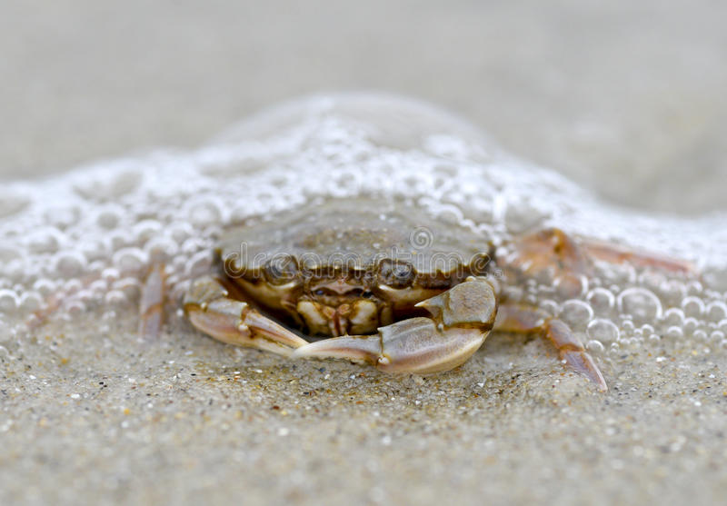 Grappige krabzitting op het zand in het overzeese schuim royalty-vrije stock afbeelding