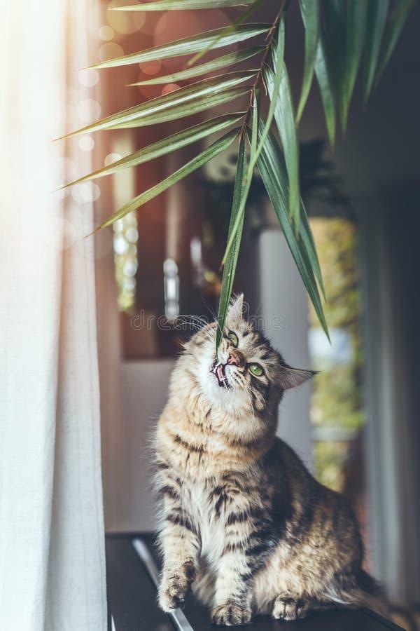 Grappige leuke jonge kat die binneninstallatiesbladeren in woonkamer eten Pluizige Rasechte Siberische kat stock afbeeldingen