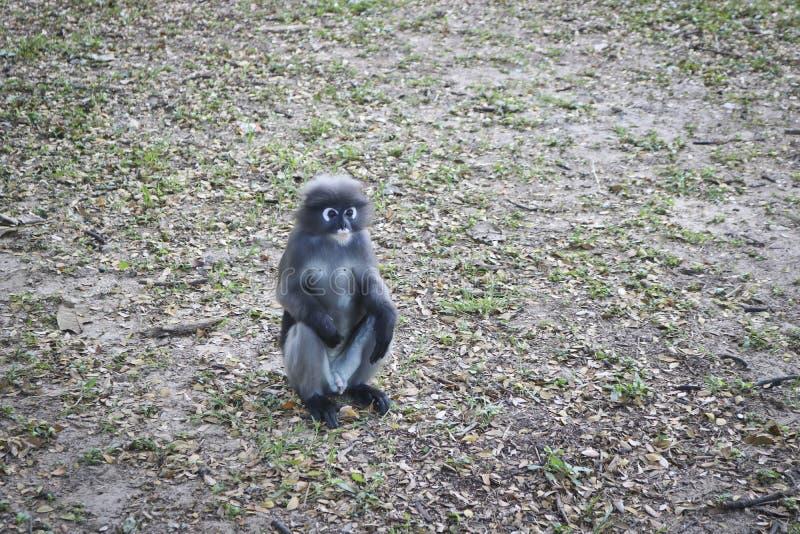 Grappige leuke obscurus van Trachypithecus van apen gebrilde langur in het nationale park Eenzaam mannetje stock afbeeldingen